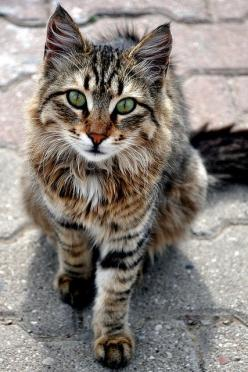 Beautiful stray cat, lives by the harbour in Turkey. My daughter always feeds the cats when she goes on holiday, it breaks her heart to leave them, she would bring them all back if she could!: Kitty Cats, Animals, Beautiful Cats, Tabby Cat, Pet, Maine Coo