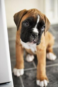 Boxer baby: Animals, Dogs, Boxer Puppies, Pet, Puppys, Boxers