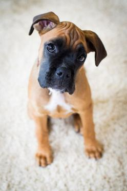 Boxer Puppy -- For Puppy Fridays from Underdog Rescue of Arizona: Boxer Dogs, Animals, Friends, Boxer Puppies, Pets, Puppys, Boxers