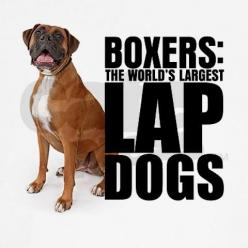 Boxers: The World's Largest Lap Dogs: Boxer Dogs, Truth, Lap Dogs, So True, Boxers, True Stories, Largest Lap, Animal