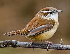 Carolina Wren -  Tail up when singing, tail down when rumaging through the leaves. Image courtesy of www.allaboutbirds.org/guide. Photo by Kevin Shea: Wren Photo, Backyard Birding, Cricket, Birds I Ve, Backyard Birds, State Birds, Wren Bird Photography, S