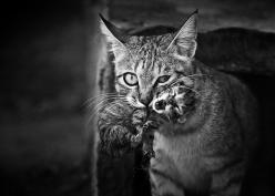 cat-looking-at-you-black-and-white-photography-103: Cats, Photos, Doron Nissim, Animals, Mothers, Kittens, Baby, Black, Mom