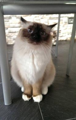 Cats are just as affectionate as dogs, humans just misunderstand their subtle communications: Ragdoll Cat, Kitty Cats, Adorable Cat, Pet, Pretty Cat, Fat Cat, Siamese Cat, Animal, Cat Lady