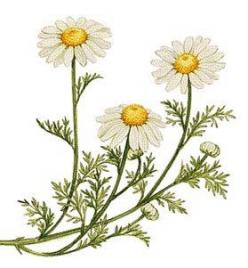 chamomile over daisies.: Ideas, Chamomile Flowers, Essential Oil, Illustration, Herbs Oils, Herbal, Tattoo, Flowers Plants Gardening