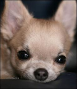 Chihuahuas- are they truly the sweet little lap dogs with loads of personality or is there a society of Geniuses that are determined to conquer the Universe????: Sweet, Chihuahuas, Box Market, Chihuahua Puppies, Lap Dogs, Chihuahua Pics, Chichi, Animal