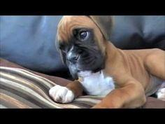 Confused Boxer Puppy..so cute this makes me want to get a puppy and name him harvey and only speak to him with an accent