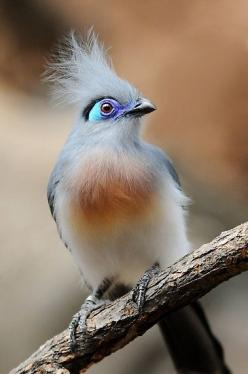 Crested Coua: what a striking bird.. indigenous to Madagascar. An island off the coast of Africa: Crested Coua, Birdie, Pretty Birds, Beautiful Birds, Animal