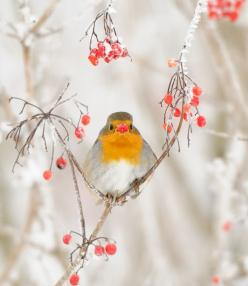 European Robin | m. geven: Animals, Winter Wonderland, Birdie, Robins, Beautiful Birds