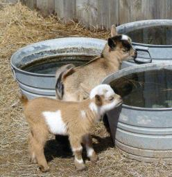 :): Farm Animals, Babies, Adorable Animals, Farm Life, Country Living, Pygmy Goats, Baby Animals, Baby Goats, Kid