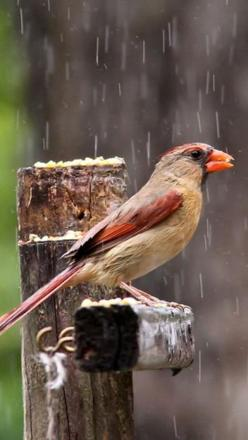 Female Cardinal ~ seen one in my life so far: Animals, Female Cardinal, Cardinal Birds, Raindrops, Rain Drops, Rain Rain, Rainy Days, Spring Rainy, Birds Cardinals