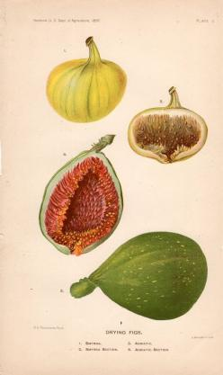 fig botanical print: Fruit Print, Botanical Prints, Vintage, Antique Botanical, Art, Original Antique, Botanical Fig, Antiques, Figs