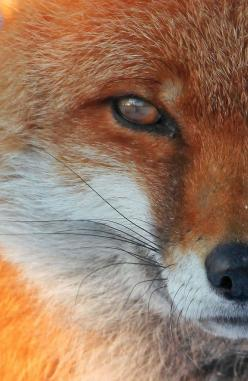 Flickr: Foxy Eye, Beautiful Animal, Ian Wade, Red Foxes, Beautiful Creatures, Foxy Lady