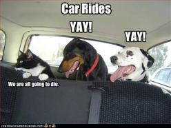 funny cat pictures - YAY!: Cats, Animals, Car Rides, Dogs, Cars, Pet, Funny Animal