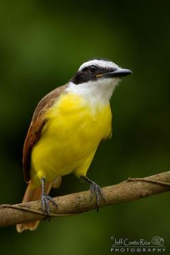 GREAT KISKADEE - Pitangus sulphuratus . . . Central & South America, mostly in Belize.: Birds Fowl, Birds Awesome, Birds Ive, Birds Central, Birds Feathered Wonders, Beautiful Birds, Bermuda Dreams
