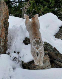 Great shot...Bob Cat: Bobcat, Animals, Big Cats, Cats Wild, Leaping Lynx, Bigcats, Creatures, Kitty Kitty, Wild Cats