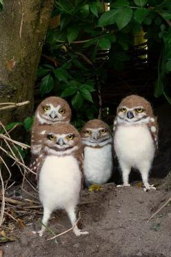 grumpygroup by helenpriem on Flickr....Group of burrowing owl youngsters. ° -- oh my gosh, they do look grumpy!: Owl Family, Owl Youngsters, Animals, Young Burrowing, Nature, Hoot Hoot, Creatures, Burrowing Owls, Beautiful Birds