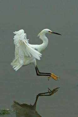 Heron touch down by Greg.Magee, via Flickr #BirdsofPrey #BirdofPrey #Bird of Prey: Wild Animal, Animals, Fowl, Greg Magee, Photo Sharing, Beautiful Birds, Heron, Snowy Egret