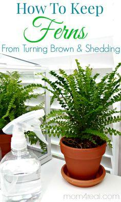 How to keep ferns from turning brown and shedding - Tip of the Day at mom4real.com  Be sure to check back daily for amazing tips and tricks!