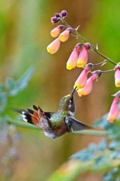 Hummingbird☆ ◦●◦ ჱ ܓ ჱ ᴀ ρᴇᴀcᴇғυʟ ρᴀʀᴀᴅısᴇ ჱ ܓ ჱ ✿⊱╮ ♡ ❊ ** Buona giornata ** ❊ ~ ❤✿❤ ♫ ♥ X ღɱɧღ ❤ ~ Mon 23rd Feb 2015: Humming Birds, Animals, Humming-Bird, Beautiful Birds, Hummingbirds, Flower, Humming Bird
