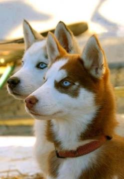 Huskies are wonderful pets!: Red Husky, Animals, Siberian Husky, Pets, Siberian Huskies, Blue Eyes, Puppy, Friend, Beautiful Dogs