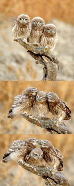 I feel for that middle owl. hahaha: Owl Family, Animals, Birds Owl, Baby Owls, Funny, Things, Third Wheel