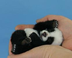 I want to discover a way to keep wild animals that are cute this tiny forever!! I would have a mini zoo of all my little favorites--- don't think this is real, but still really cuteee: Baby Pandas, Babies, Adorable Animals, Pet, Baby Animals, Panda Be