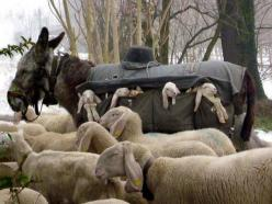 In the early spring shepherds drive huge flocks of livestock, here sheep, mules, donkeys, and goats from the Pre-Alpine hills to the plains of Lombardy, Italy for grazing. The newborn lambs are carried in a custom made side saddle by the donkeys, and retu