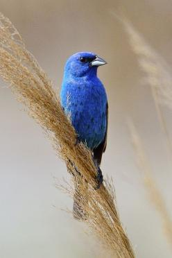 Indigo Bunting by Brian E Kushner, via Flickr: Indigo Birds, Indigo Buntings, My Birds, Backyard Birds, Beautiful Birds, Blue Birds, B Buntings Warblers, Animal