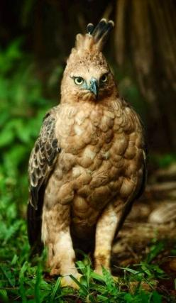 Javan Hawk Eagle - endangered00One of the rarest of all raptors, the Javan Hawk-eagle is believed to be a monogamous species. The female usually lays one egg in nest high on top of forest trees. The diet consists mainly of birds, lizards, fruit bats and m