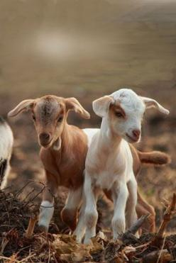 Just a morning goat picture to make us smile! Can't wait for spring!: Farm Animals, Sheep Goats, Goat Kids, Country Living, Cute Kids, Country Life, Baby Animals, Baby Goats