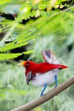 King Bird of Paradise (Cicinnurus regius) male, New Guinea  (photos by kampang): Animals, King Bird Of Paradise, Beautiful Birds, Photo, Ave