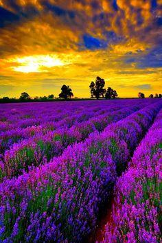 Lavender Fields Provence, France