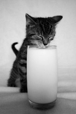 Milk drinking kitty: Cats, Kitty Cat, Animals, Pets, Glass, Adorable, Kittens