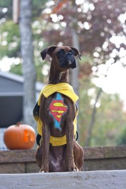 Not usually for dogs in clothes but it is Halloween and he seems particularly pleased with himself.: Boxer Dogs, Animals, Superboxer, Halloween Costumes, Pet, Superman Boxer, Boxers, Boxer Babies
