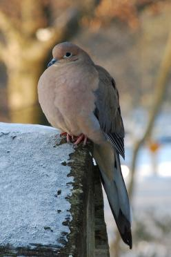 Nothing better to be gardening with the voice of a morning dove in the back ground. I'm so ready to start planting.: Pigeon, Mourning Dove, Morning Dove, Beautiful Birds, Mornings, Animal