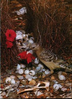 One of my favorite animals. Bowerbirds build these nests and decorate them with flowers and shells in order to attract a female.: Birdnests, Decorate, Red Flower, Bowerbirds Build, Beach Theme, Bowerbird Bower, Blues Bowerbird