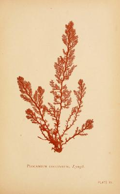 Plocamium coccineum, from Sea mosses by B. Whidden, Boston, 1893: Choral Art, Botanical Illustrations, Art Prints, Seaweed, Art Illustration Botanical, Sea Mosses, Photo