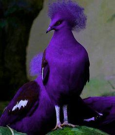 Purple Crowned Pigeon