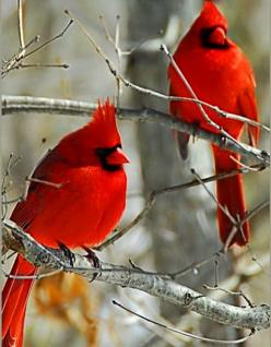 Red cardinal birds. I love to see them coma and visit in our yard. But we don't often get them . We do get more blue jays.: Cardinal Birds, Beautiful Birds, Favorite Bird, Cardinals Redbirds, Red Birds, Beautiful Cardinals, Animal