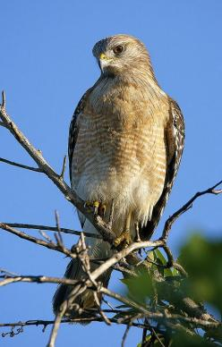 Red-shouldered Hawk, Shark Valley, Everglades N.P. by pedro lastra**: Hawks Birds, Eagles Falcons, Owls Eagles, Beautiful Birds, Red Shouldered Hawk, Eagles Owls Hawks, Birds Species Hawks, Prey Hawks Eagles Etc