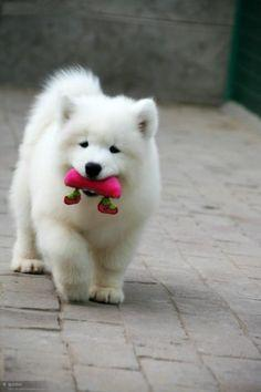 Samoyed if I actually get one of these puppies I'd be the happiest girl ever...: Animals, Samoyed Puppies, Sammy, Pet, Puppys, Samoyed Dogs