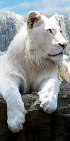 snowy white lion... Reno Web Design #renowebdesign www.renowebdesigner.com  website design, logo design, web hosting & social media.: White Lions, Big Cats, Animal Kingdom, Beautiful Animals, Bigcats, Whitelions, Amazing Animal, Wild Cats, Albino