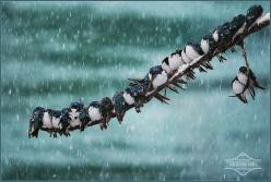 Swallows in a spring snowstorm huddle together for warmth~  photo by Keith Williams  Yukon Territory, Canada: Animals, Winter, Nature, Feathered Friend, Birds, Photo