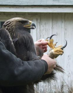 talons. Golden Eagle?: Animals, Creature, Golden Eagle, Eagles, Photo, Birds