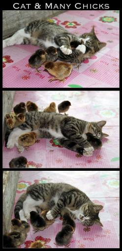 The 30 Most Inspiring Interspecies Friendships Of The Year: Chicken, Cats, Animals, Friends, Pet, Kitty, Baby Chicks, Photo
