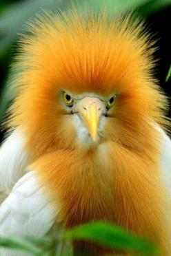 The Cattle Egret is a type of heron that spends its time in fields rather than streams. It forages at the feet of grazing cattle or rides on their backs to pick at ticks. Originally from Africa, it found its way to North America @ 1953 and quickly spread