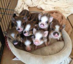 the cuteness is over the top!: Piglets, Mini Pigs, Pet, Baby Pigs, Piggies, Adorable, Baby Animals, Piggy