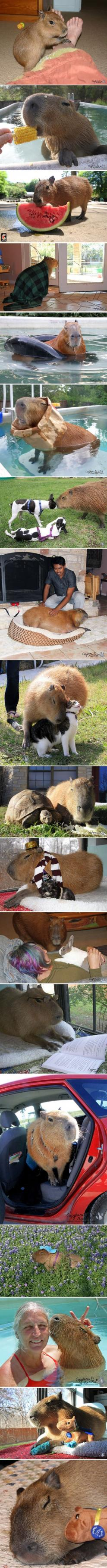 The Internet needs more capybaras…: Capybara Funny, Animals, Critter, Pet Capybaras, Capybaras Dammit, Capybara Pet, Internet