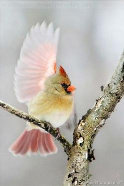 The light seems to glow through his wing with the prettiest color.           Northern cardinal: Female Cardinal, Birdie, Beautiful Birds, Animal, Cardinals