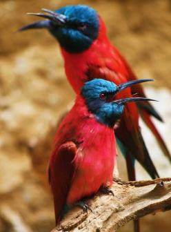 The Northern Carmine Bee-eater, Merops Nubicus, is a near Passerine bird in the bee-eater family Meropidae. Alternative common names include the Carmine Bee-eater or the Nubian Bee-eater. It's native to Benin, Burkina Faso, Cameroon, the Central Afric